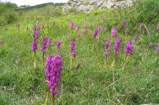 early purple orchid (c) Arnside & Silverdale AONB
