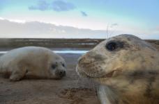 grey seals (c) Ben Andrew