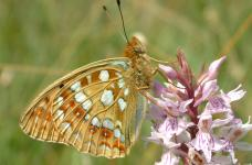 High Brown Fritillary © Rob Petley Jones