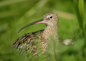 curlew © David Morris