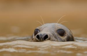 grey seal © Ben Andrew