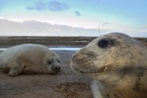 Grey seals © Ben Andrew