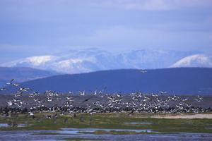 oystercatcher flock © Ben Hall